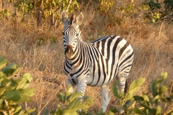 Carnet de voyage : le parc Kruger